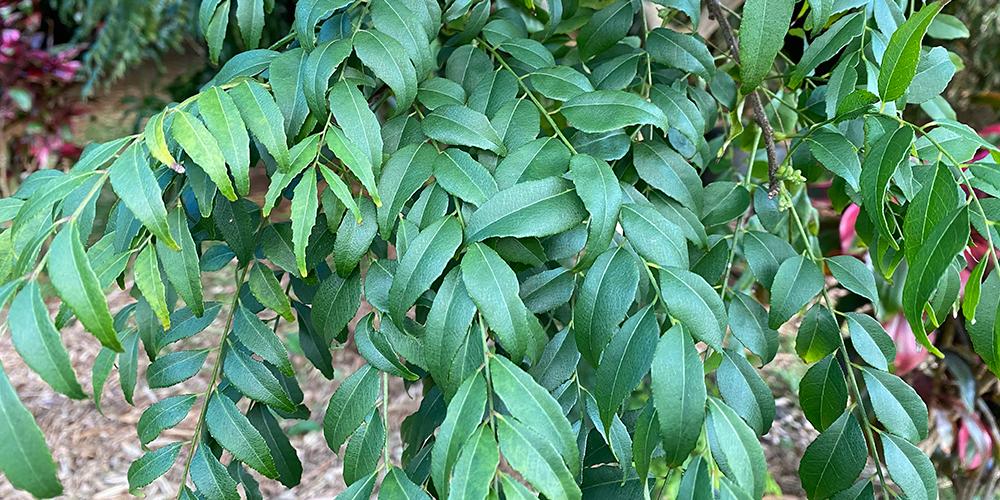 Olana Organic Curry Leaf