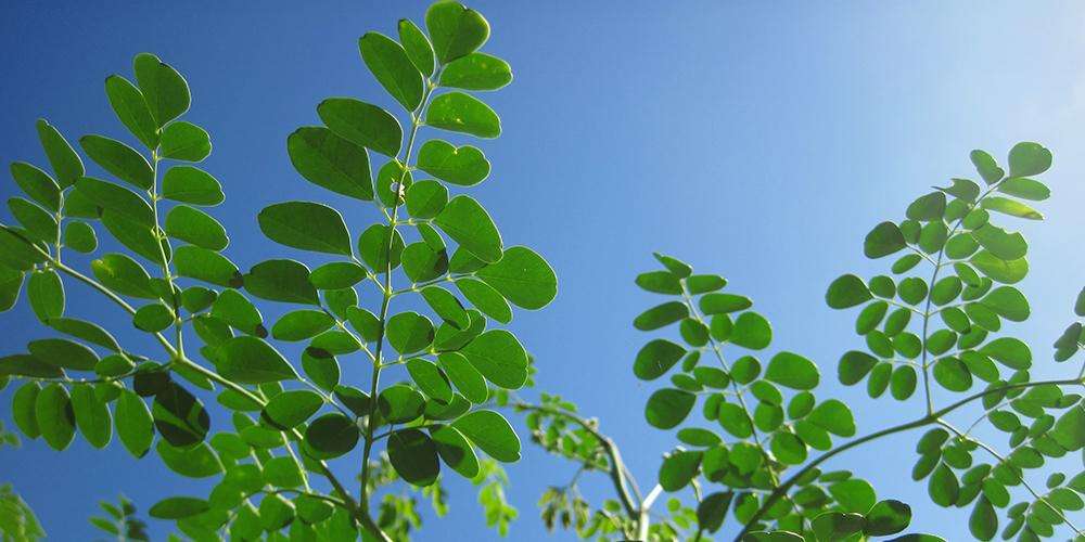 Olana Organic Moringa